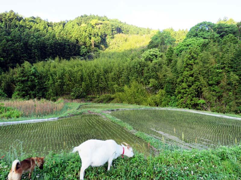 犬のあわとヤギのひじきと朝の散歩