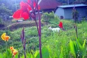 ヤギのひじきさんとカンナの花