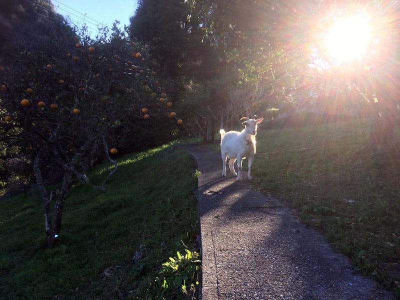 山の草刈り担当、ヤギのぎーちゃん