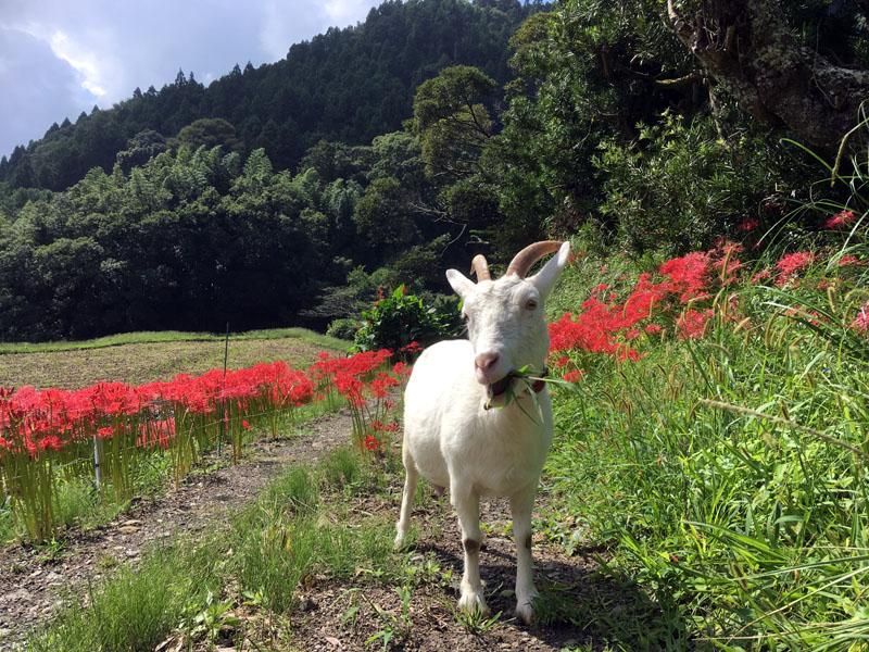 彼岸花とヤギのひじき