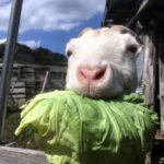 キャベツ好き♪ ヤギのひじき
