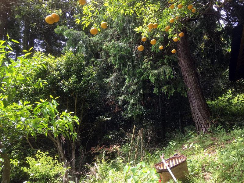 夏みかんの収穫