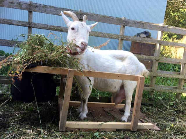 ヤギの搾乳台初期
