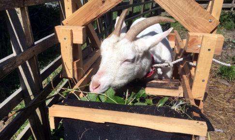 ヤギの搾乳