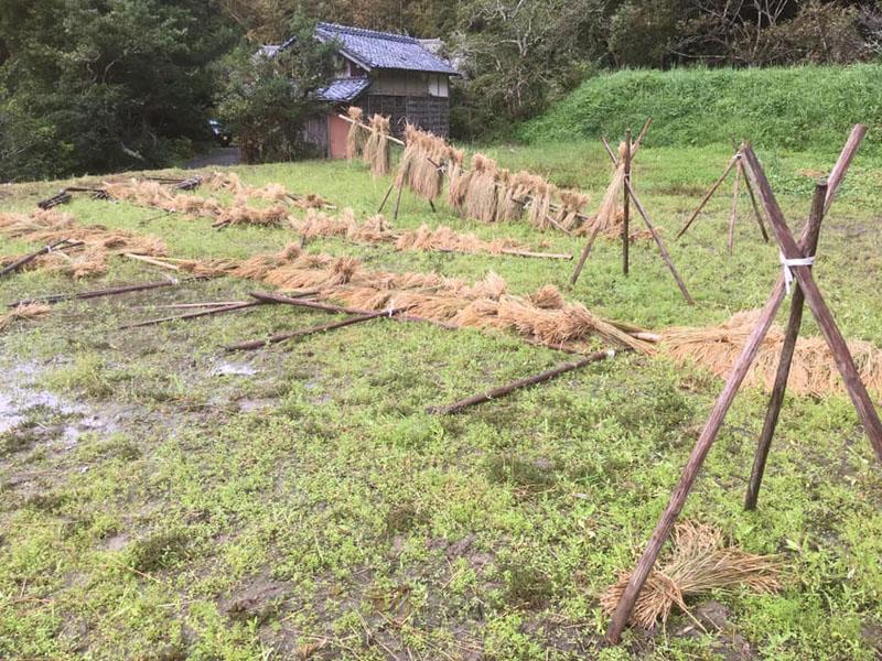 強風で倒されたハサガケ