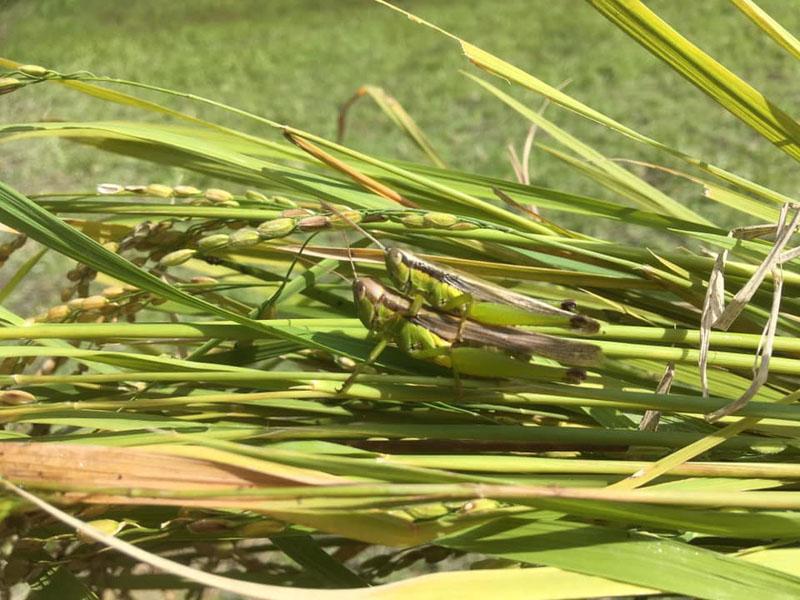 稲にいたイナゴカップル
