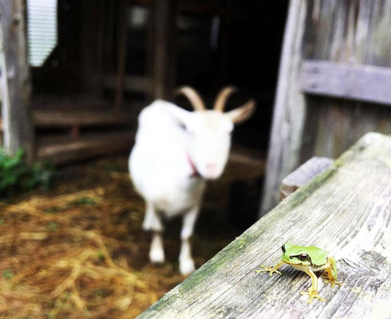 ヤギのひじきとカエル