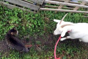猫のワラワラとヤギのひじき