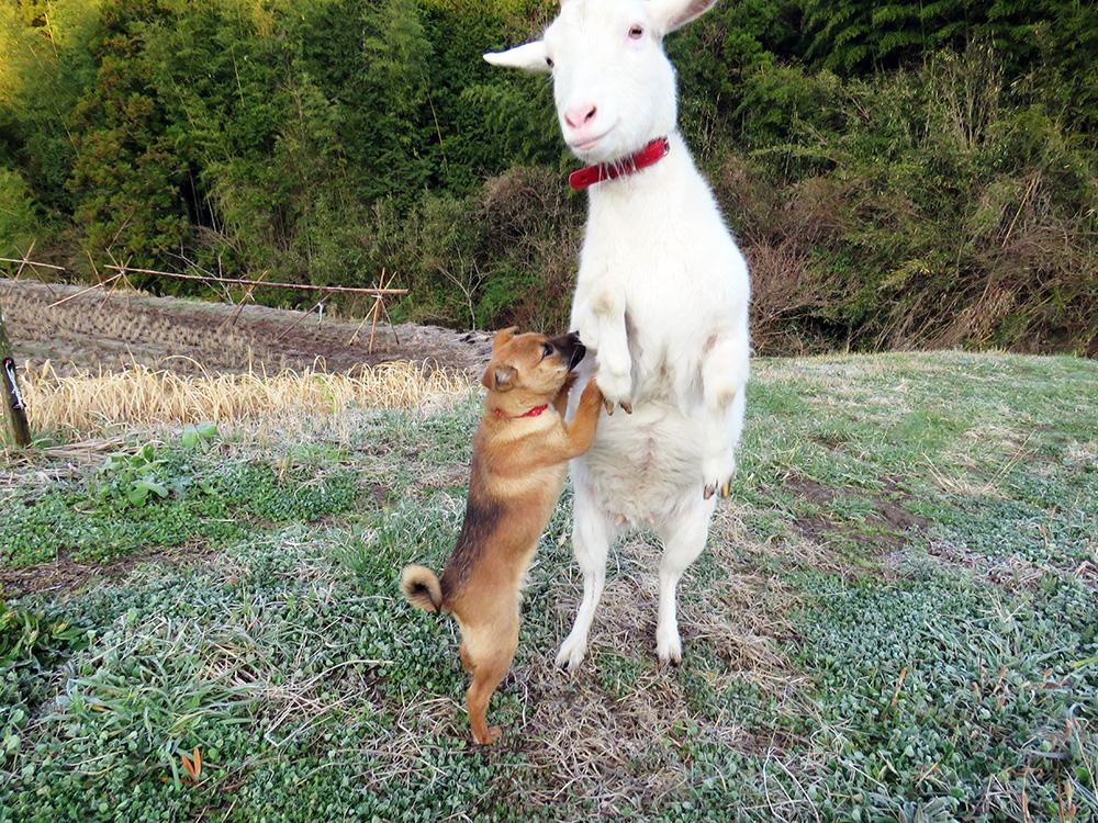 ヤギのひじきと犬のあわ