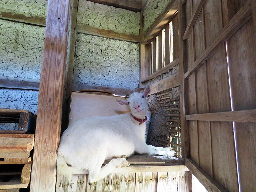 ひじき邸の中で寛ぐヤギのひじき