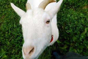 ひじきという名のヤギ